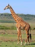 站立在大草原的长颈鹿 库存照片