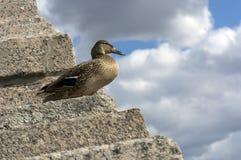 站立在天空背景的一层石楼梯的母鸭子与 库存图片