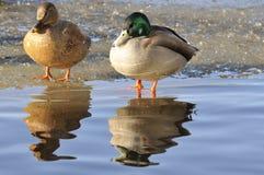站立在太阳的鸭子夫妇 库存照片