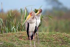 站立在奈瓦夏湖岸的黄色开帐单的非洲鹳  免版税图库摄影