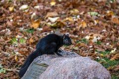 站立在女王之间秋叶的一块石头的黑灰鼠停放-多伦多,安大略,加拿大 免版税库存照片