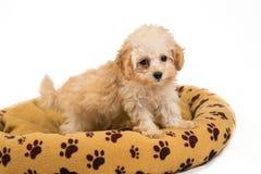 站立在她的床上的逗人喜爱和好奇长卷毛狗小狗 免版税库存照片