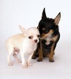 站立在妈妈旁边的小的白色小狗奇瓦瓦狗 免版税库存照片