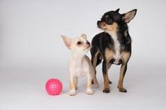 站立在妈妈旁边的小的白色小狗奇瓦瓦狗 库存图片