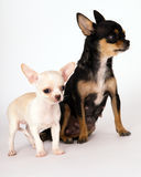 站立在妈妈旁边的小的白色小狗奇瓦瓦狗 图库摄影