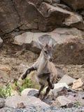 站立在它的后腿中间跃迁的幼小高山高地山羊 库存图片