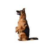 站立在它的后腿的一条幼小德国牧羊犬狗的画象反对白色背景 两岁宠物 免版税库存照片