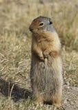 站立在它的后腿的哥伦比亚地松鼠 库存照片