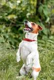 站立在它的后面爪子和查寻外面在绿草b的可爱的小白色和红色狗起重器罗素狗画象  免版税库存照片