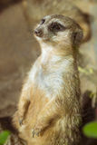 站立在它的在Loro parque的后腿,十的Meerkat (Surikate) 库存照片