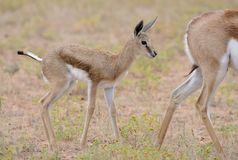 站立在它的母亲后的小跳羚在雨中 免版税库存照片