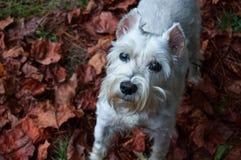 站立在室外设置的秋叶的白色小髯狗 免版税图库摄影