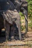 站立在家庭旁边的树荫下的年轻大象 库存图片