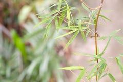 站立在密林的竹树 库存照片