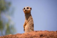 站立在小小山的Meerkat 图库摄影