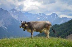 站立在小山的一头母牛 免版税库存照片