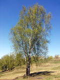 站立在小山的桦树 免版税图库摄影