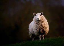 站立在小山的英国绵羊 图库摄影