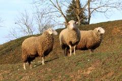 站立在小山顶部的三只更旧的绵羊 免版税库存图片