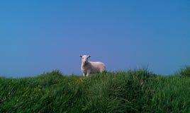 站立在小山, Pembrokeshire,威尔士顶部的羊羔 免版税图库摄影