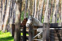 站立在小牧场的两匹马 库存图片