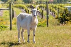 站立在小牧场的白色本国山羊 免版税库存照片