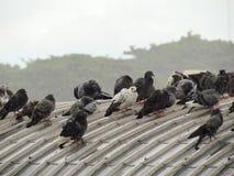 站立在屋顶的鸽子群  在大雨和阴云密布的那天 免版税图库摄影