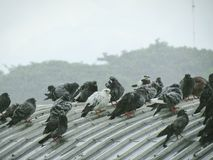 站立在屋顶的鸽子群  在大雨和阴云密布的那天 库存图片
