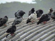 站立在屋顶的鸽子群  在大雨和阴云密布的那天 免版税库存照片