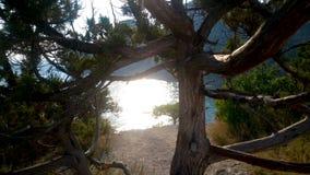 站立在山小山边缘的老柏树在克里米亚,自然 股票视频