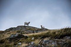 站立在山的岩石的两只绵羊 库存照片