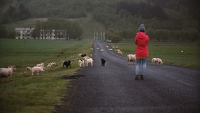 站立在山路和为在智能手机的后面观点的年轻旅行的妇女绵羊照相 影视素材