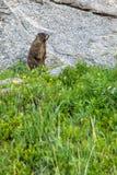 站立在岩石前面的草的土拨鼠 库存图片