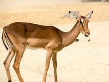站立在岩石含沙背景的羚羊 免版税库存照片