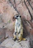 站立在岩石和保留监视的一meerkat 库存图片