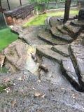 站立在岩石和凝视在照相机的河中水獭 库存图片