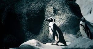 站立在岩石岸的两只企鹅画象  免版税库存照片