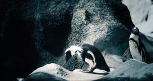 站立在岩石岸的两只企鹅画象  免版税库存图片
