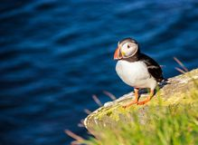 站立在岩石峭壁栖息处的海鹦鸟在一个晴天在Latrabjarg,冰岛,欧洲 免版税库存图片