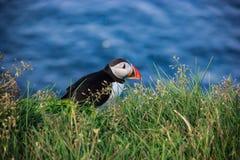 站立在岩石峭壁栖息处的海鹦鸟在一个晴天在Latrabjarg,冰岛,欧洲 库存照片