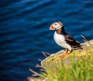 站立在岩石峭壁的冰岛海鹦鸟在一个晴天在Latrabjarg,冰岛,欧洲 免版税库存照片