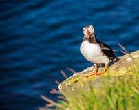 站立在岩石峭壁的冰岛海鹦鸟,面对直接对照相机在一个晴天在Latrabjarg,冰岛,欧洲 免版税库存图片