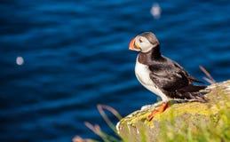 站立在岩石峭壁的海鹦鸟在一个晴天在Latrabjarg,冰岛,欧洲 免版税库存图片