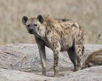站立在岩石的一条唯一鬣狗的Frontview 库存图片