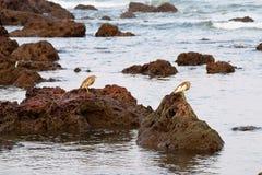 站立在岩石的两只印地安池塘苍鹭寻找牺牲者 免版税图库摄影