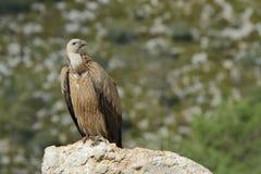 站立在岩石的兀鹫 免版税库存图片