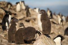 站立在岩石的南部的rockhopper企鹅小鸡 库存照片