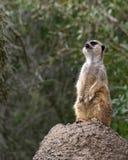 站立在岩石的唯一meerkat寻找掠食性动物 库存照片