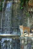 站立在岩石的孟加拉老虎 免版税库存图片