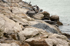 站立在岩石的布朗鹈鹕 图库摄影